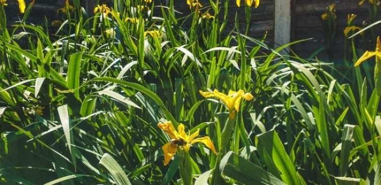 Yellow Iris in garden