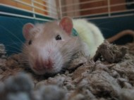 A white and tan rat that looks kind of normal except for the fact that his snout is huge