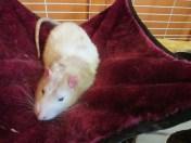 Maroon hammock with a rat sitting in it.