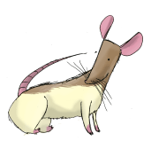 A tan and white rat who is staring at his butt.