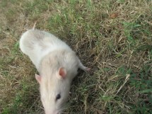 Some grass and a tan and white rat sitting on it.