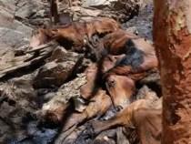 Más de 10.000 caballos sacrificados en Australia - Fotos