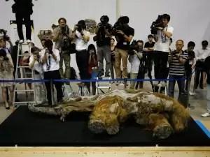 Fotos y video del bebé mamut mejor conservado del mundo