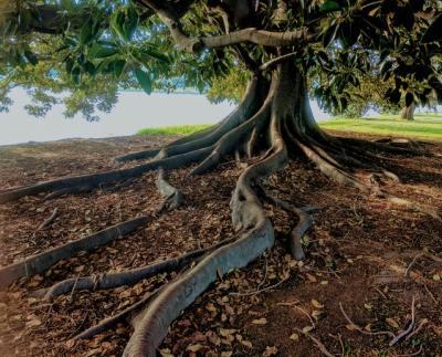 Ein Baum mit schmalen, aber hohen oberirdischen Wurzeln