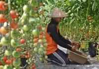 hortikultura