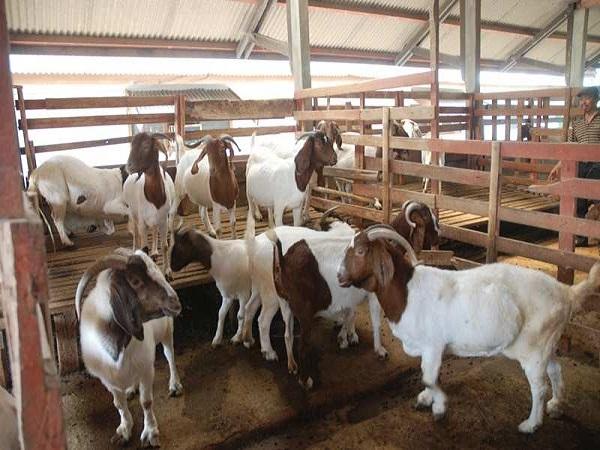 kambing boerawa