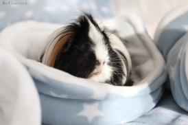 GuineaPigs-fleece-Ziggys Piggies-Ann Charlotte Photography@2016-2
