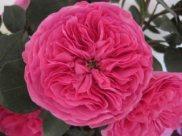 Baronesse Garden Rose