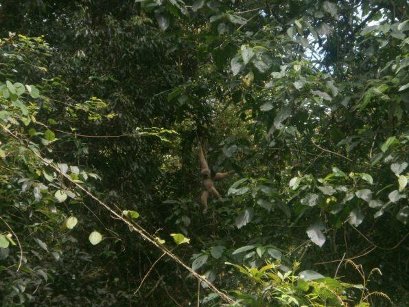 Gibon in Khao Yai National Park - Parque Nacional Khao Yai, ¿el mejor parque natural de Tailandia?