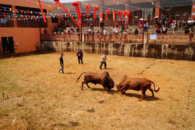 Yunnan Monihei Bullfight 500x333 - Monihei, China's most famous mud festival