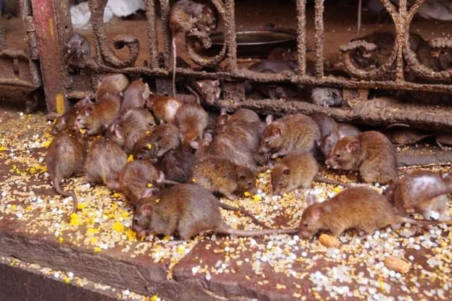 India Bikaner Templo de las Ratas 1 500x333 - Bikaner and the curious Temple of Rats