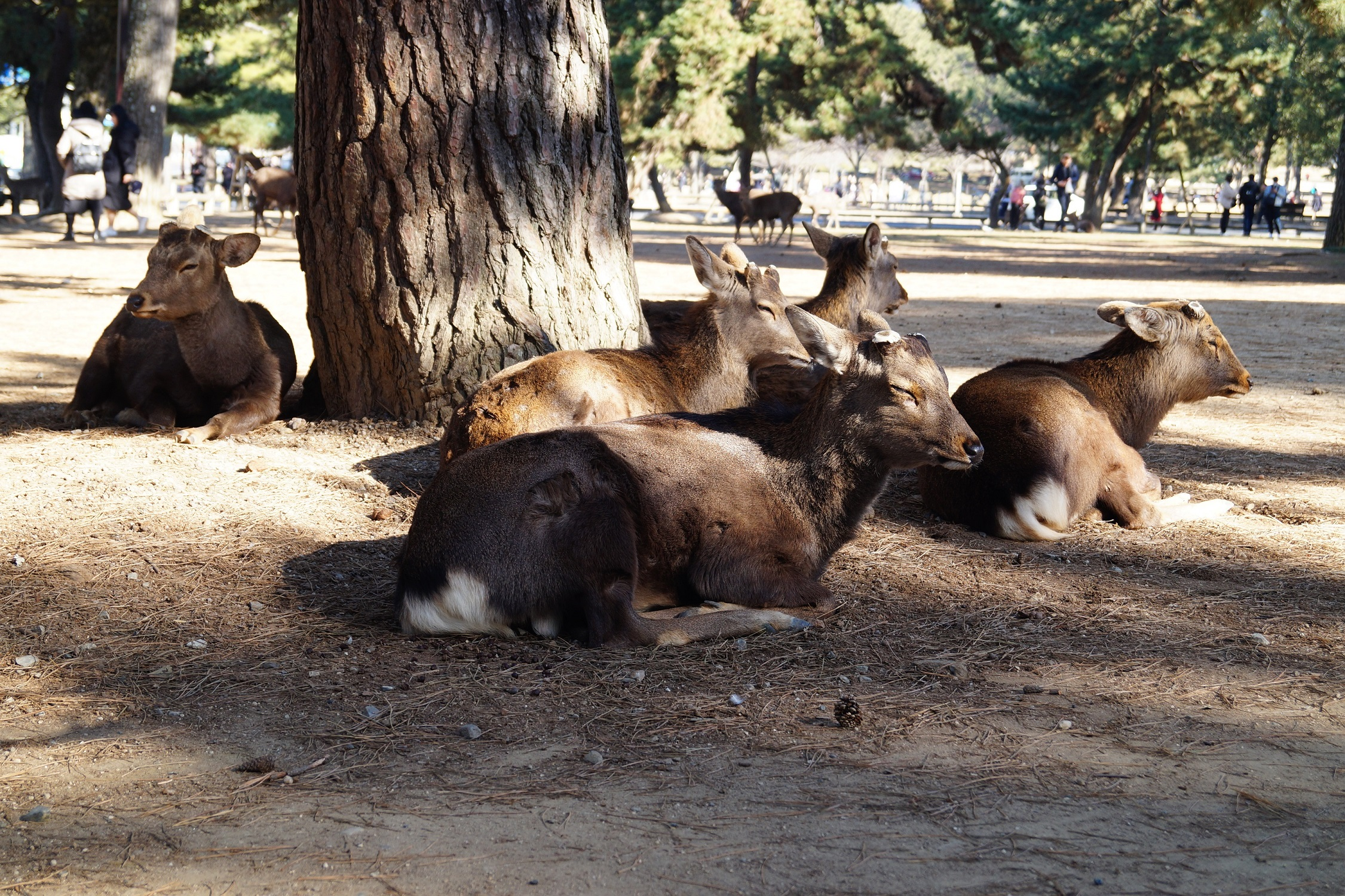 Nara Parque de Nara - Nara Park and the Sacred Deer of Japan