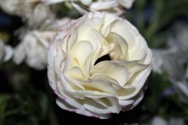 2016-05-12_Ranunkel-Weiß