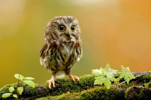 cute-baby-owl