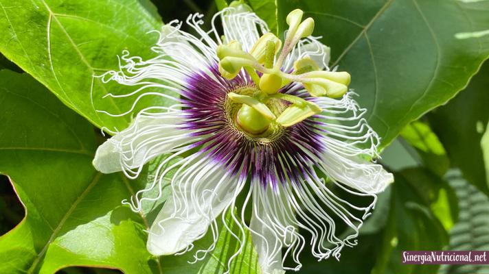 La Pasiflora remedio para la ansiedad y el sueño