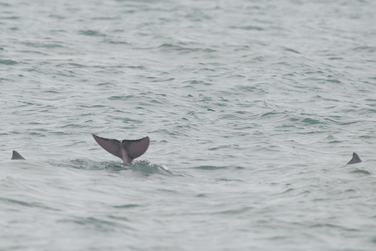 Indo Pacific Humpback Dolphin Singapore Birds Project