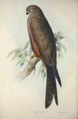 The Black Kite is an uncommon migrant to Singapore. The subspecies found in Singapore is lineatus and is sometimes split into a new species called the Black-eared Kite.