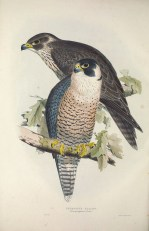 The Peregrine Falcon exist both as a migrant and a rare resident in Singapore since the subspecies that migrate differs from the subspecies that is local. Regardless of the subspecies, it is reputed to be the fastest animal in the world. It has to be fast, as its main prey are other fast moving birds.