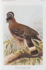 The Crested Serpent Eagle. One of the pitfall of solely relying on museum skin sample for the drawing is that sometimes you get the gist of the bird very wrong. This is one such example, where the illustration and the real bird differ in appearance. The eagle is a rare resident in Singapore.