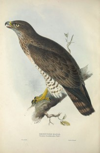 The Short-toed Snake Eagle is a rare passage migrant to Singapore, although in 2013 there have been two separate sightings in Tuas and over Jelutong Tower.