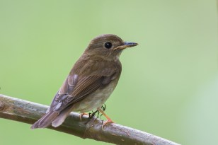Back-view of the Brown-chested Jungle Flycatcher