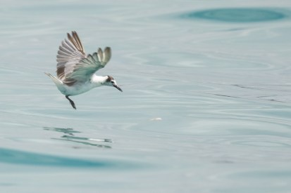 Action sequence of White-winged Tern fishing jellyfish-1
