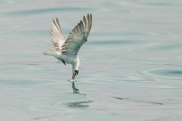 Action sequence of White-winged Tern fishing jellyfish-3