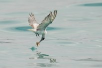 Action sequence of White-winged Tern fishing jellyfish-4