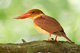 Almost 40 photographers were there in Bidadari for this Ruddy Kingfisher.