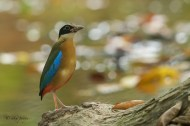 A different type of background for the Blue-winged Pitta.