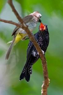 Alan_Ng-Square-tailed Drongo-Cuckoo-1