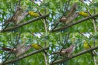 banded_bay_cuckoo_feeding