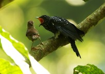 Christopher_Lee-Square-tailed Drongo-Cuckoo-3
