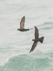 A pair of Swinhoe's Storm Petrel flying just above the water at Singapore Strait during migration in May 2012