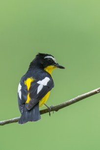 A male Yellow-rumped Flycatcher with its back showing.