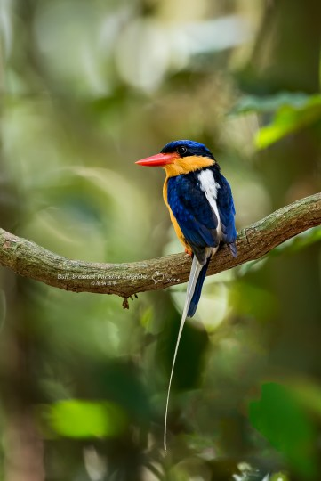 Buff-breasted Paradise Kingfisher . The rainforests around the city of Cairns is the best place in the world to see this iconic australasian migrant. Photo by Wang Bin.