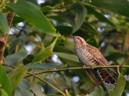 Horsfield's Bronze-Cuckoo from Penang, Malaysia. Photo courtesy of Choy Wai Mun.