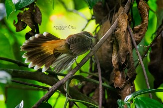 Rufous Fantail from Cairns. This arboreal insectivore migrates a much further distance than its rainforest counterparts, with individuals wintering on New Guinea from as far south as southeast Australia. Photo by Wang Bin.