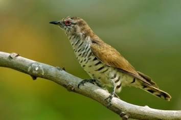 Male Little Bronze Cuckoo. Photo Credit: Alvin Seng