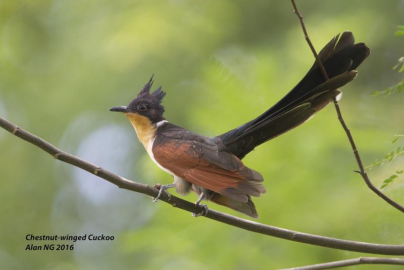 Adult Chestnut-winged Cuckoo at Bidadari. Photo Credit: Alan Ng