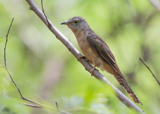 Adult Rusty-breasted Cuckoo at Tuas South. Photo Credit: See Toh Yew Wai