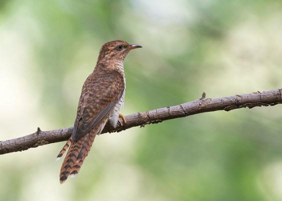 Juvenile Plaintive Cuckoo at Tuas South. Photo Credit: See Toh Yew Wai