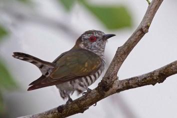 Male Little Bronze Cuckoo at Pasir Ris. Photo Credit: Alan Ng