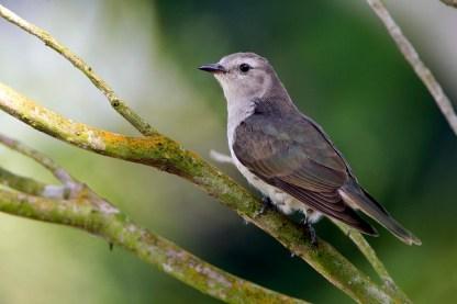 Juvenile Little Bronze Cuckoo at Pasir Ris. Photo Credit: Alan Ng