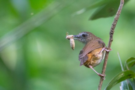 Abbott's Babbler at Venus Drive with a recently caught insect. Photo credit: Francis Yap