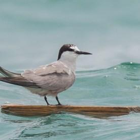 Aleutian Tern in breeding plumage at Singapore Strait. Photo credit: Francis Yap