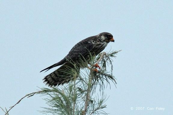 Female Amur Falcon at Changi Reclaimed Land. Photo credit: Con Foley