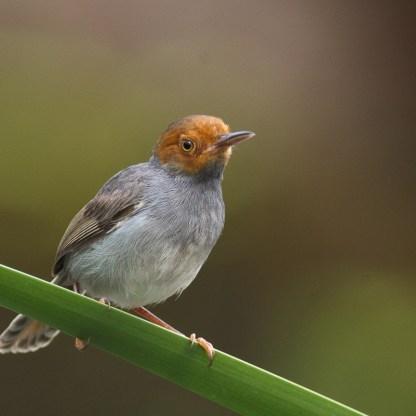 Ashy Tailorbird at Chinese Garden. Photo credit: Francis Yap
