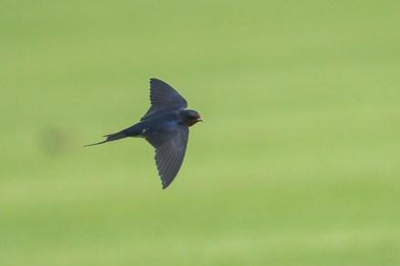Barn Swallow at NSRCC. Photo Credit: Francis Yap