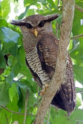 Barred Eagle Owl at Senai, Johor. Photo Credit: Alan Ng